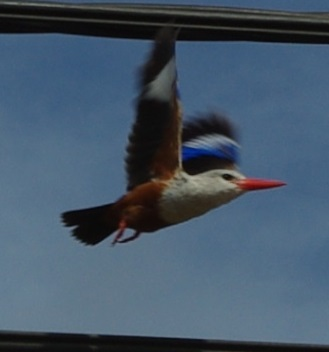 Bird cabo verde_rwestwood
