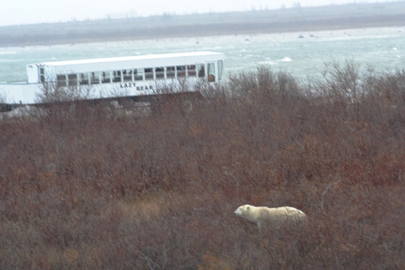 2014-polar-bear-viewing