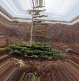 dknightley_spruce