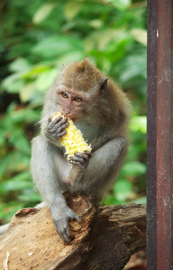 strike_macaque-bali1