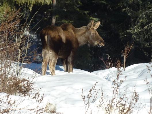 moose_calf2a