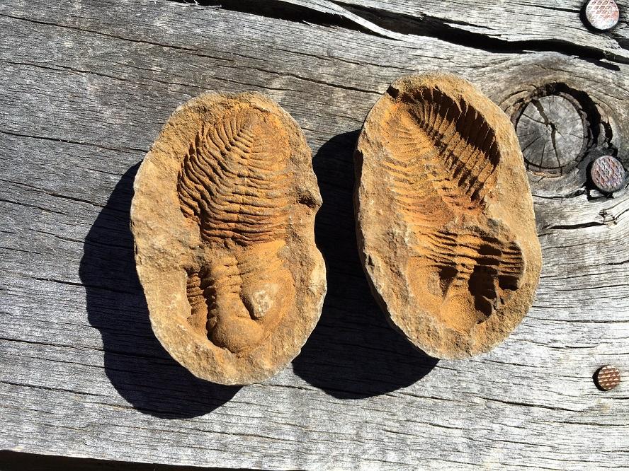 trilobite1