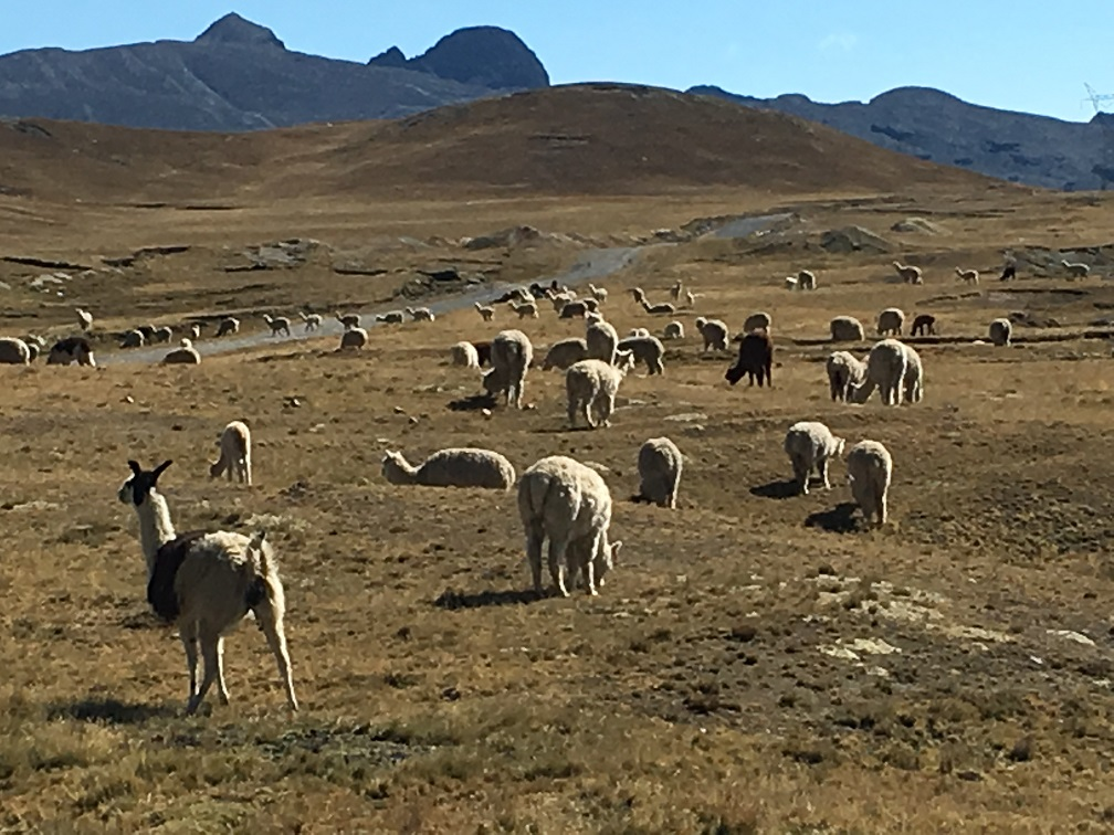 vicuna_alpaca_llama