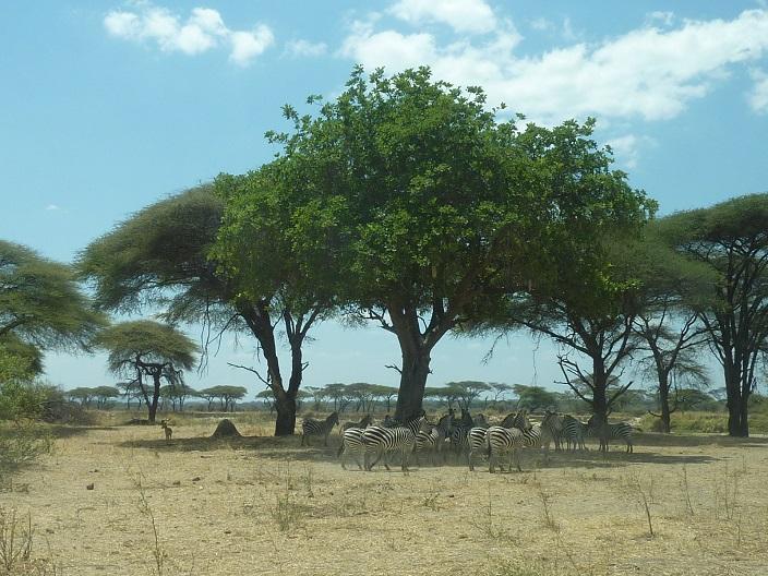 zebrasundertree1